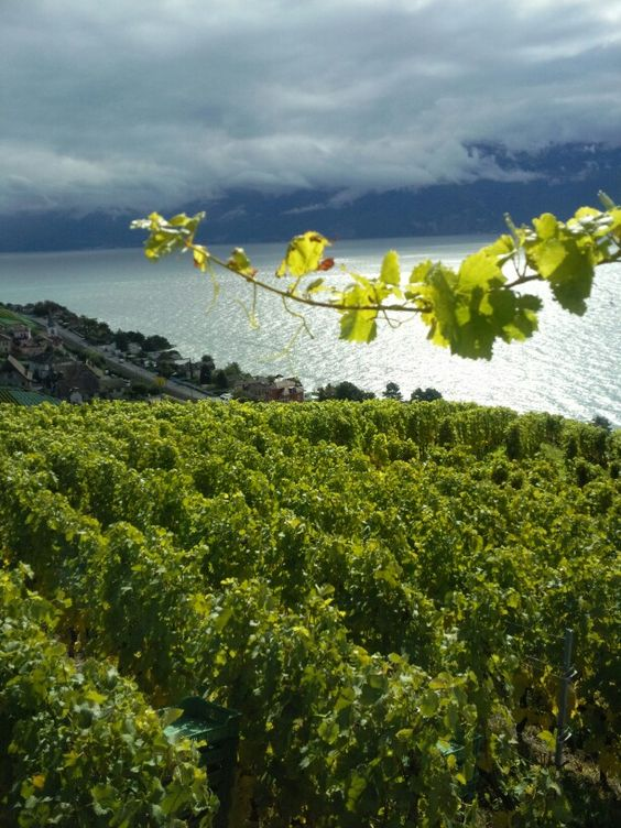 Vignoble à Grandvaux