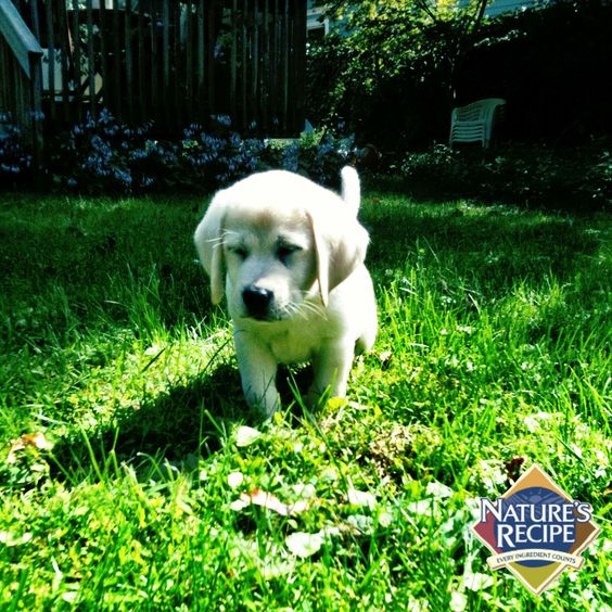 Repin this if your pup loves the outdoors!  #puppy #lab #pet #dog