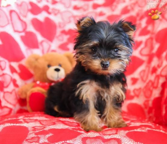 Bentley Yorkshire Terrier Puppy For Sale In Turbotville Pa