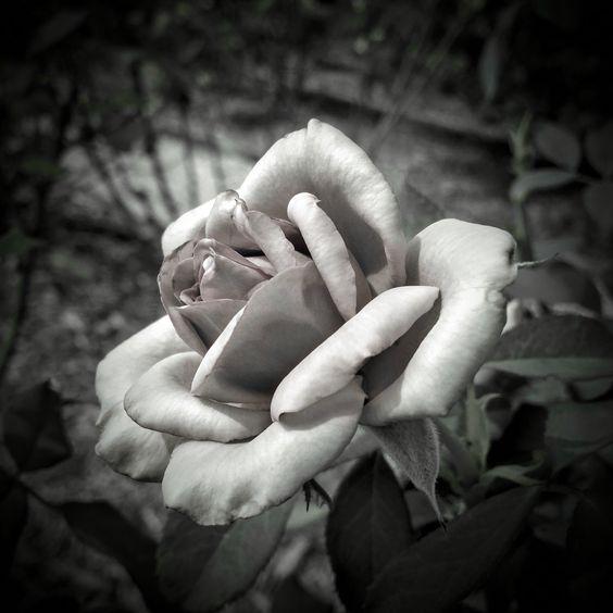 Sad & Alone  - Type of Rose -