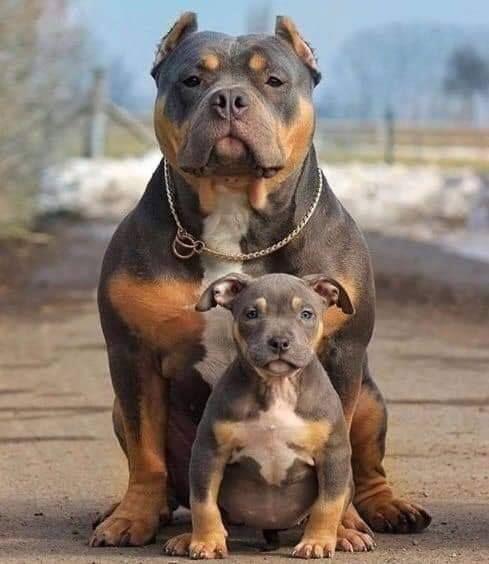 Pitbull Puppy Make Me Happy Pitbulls Pitbullpuppy Pitpuppy
