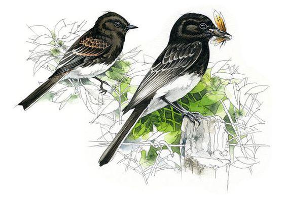 Black Phoebe watercolour  bird art wildlife by RobManciniImages