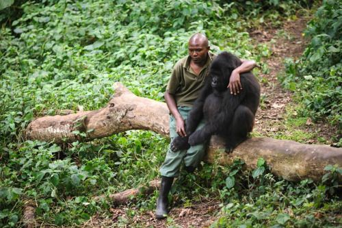 Patrick Karabaranga, a ranger at the Virunga National Park in eastern Democratic Republic of the Congo, sits with an orphaned mountain gorilla on July 17 in the park's gorilla sanctuary in Rumangabo. (Source)