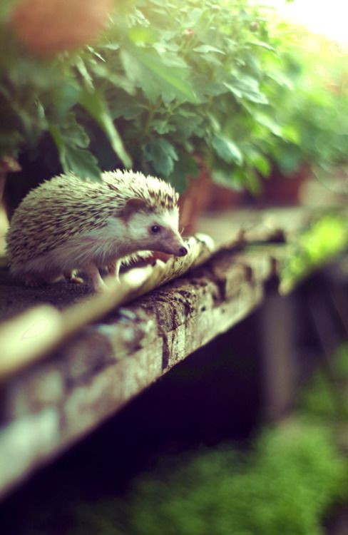 Hedgehog. SO CUTE.: