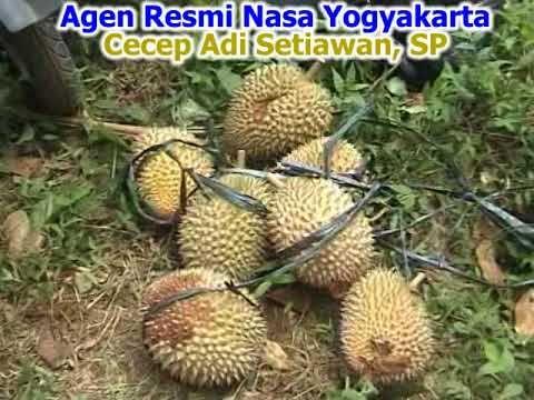 Cara Meningkatkan Produksi Durian Dan Panen Diluar Musim Dijamin Jitu Tanaman Panen