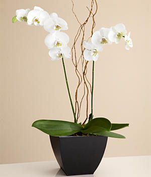 potted double stem white orchid  potted double stem white orchid: day orchid decor