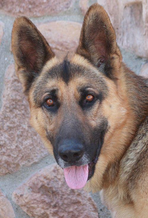 Westside German Shepherd Rescue Of Los Angeles Needs A Home
