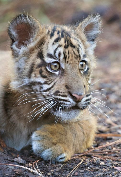 Suka the 4-month-old Sumatran tiger cub by Angie Bell