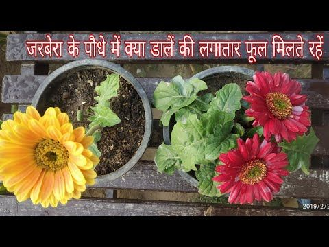 How To Care Gerbera Plant For Maximum Flowering Youtube Plants