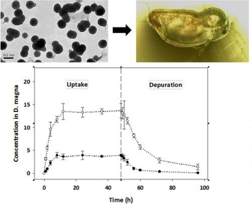Bioaccumulation,Depuration, and Transfer to Offspringof 13C-Labeled Fullerenols by Daphniamagna