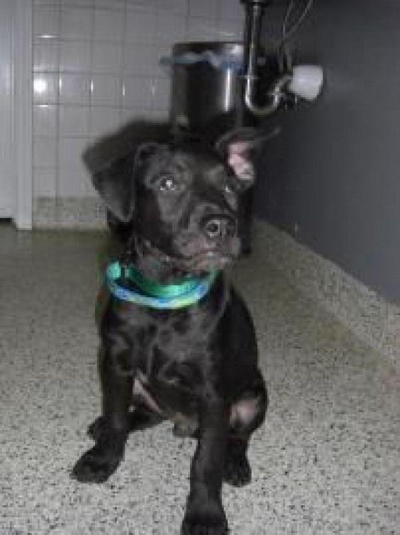 Boxermix Boxer Mix Website Boxer Mix Adoption Dog Adoption
