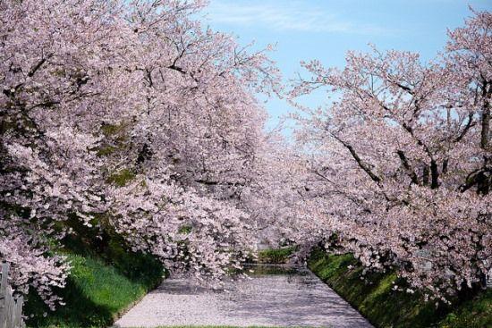 Bunga Sakura Mekar Sempurna Di Kastil Hirosaki Kastil Bunga Sakura Sakura