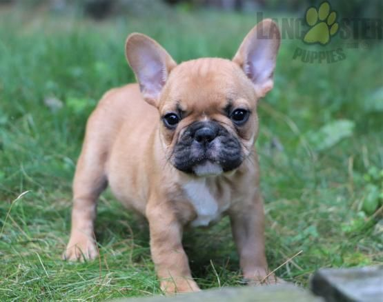 Pin By Lancaster Puppies On French Bulldog Puppies In 2020 Bulldog Puppies French Bulldog Bulldog