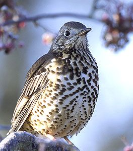 The Mistle Thrush (Turdus viscivorus) is a bird common to much of Europe, Asia and North Africa.