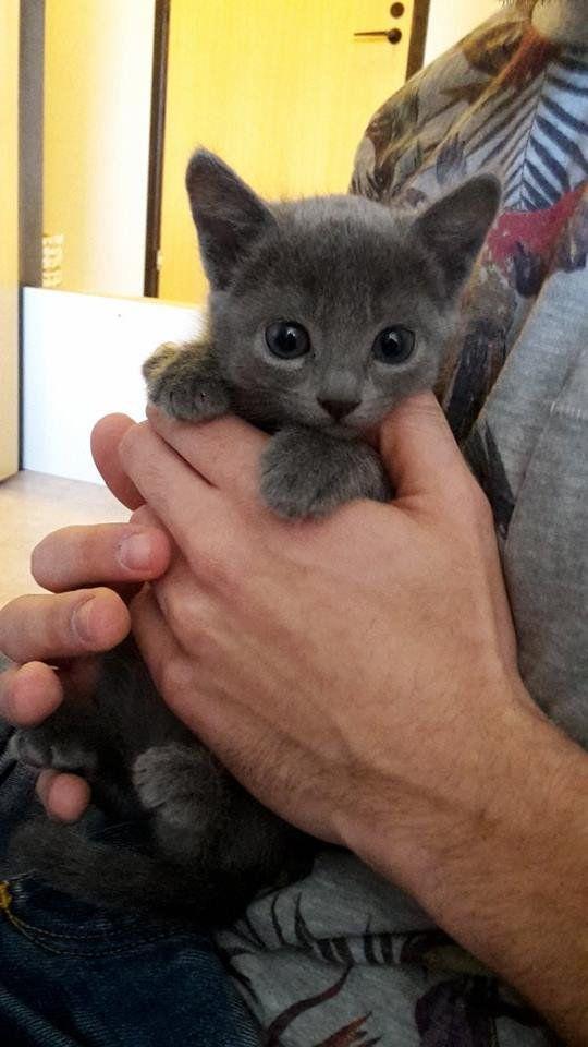 Say Hello To Bella Russian Blue Russian Blue Cat Russian Blue Russian Blue Kitten