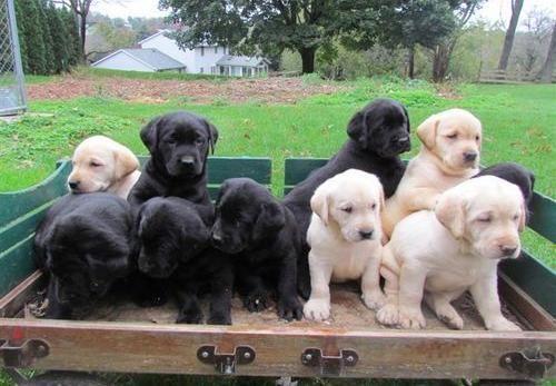 Labrador Retriever Welpen Schokobraun Mit Papieren Labradorretriever Labrador Retriever Labrador Bull Terrier Puppy
