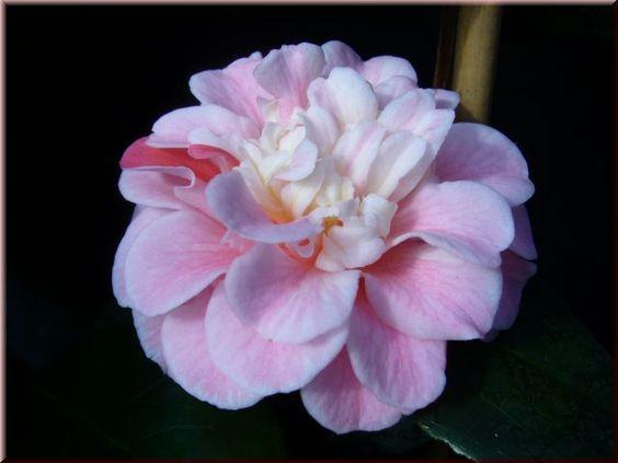 Camellia japonica 'Confetti Blush' (U.S., 1972)
