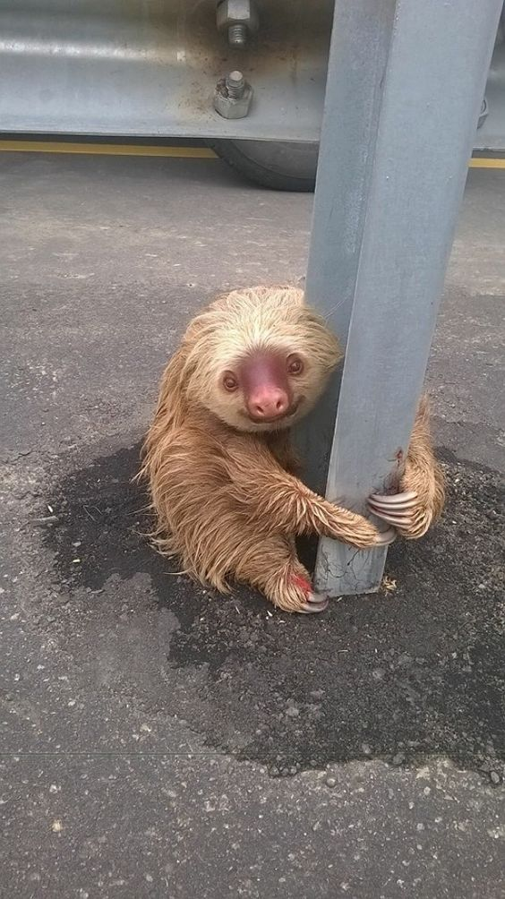 Adorable sloth clinging to motorway barrier rescued