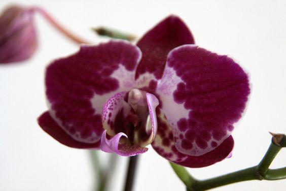 orquideas raras fotos - Pesquisa Google