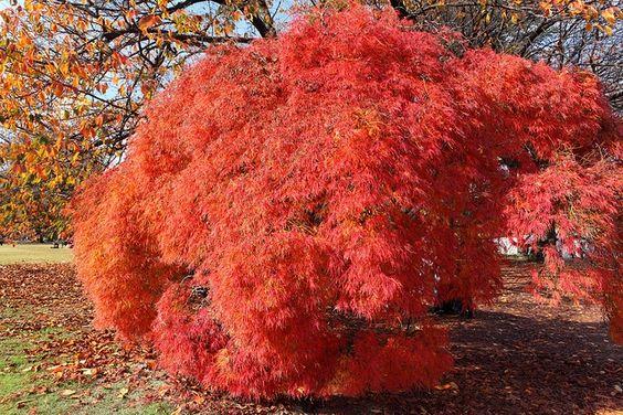 Japanese Maple. Acer palmatum dissectum 'Tamukeyama.' New ...