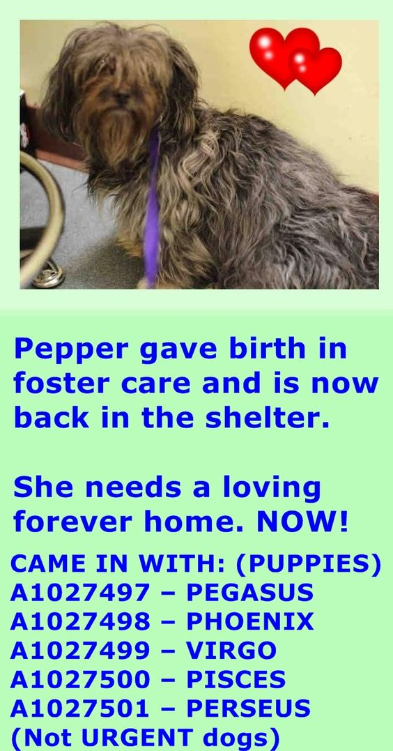 SAFE 4-25-2015 --- Brooklyn Center FANTINE aka PEPPER – A1026226 ***BACK AT THE SHELTER – AVAILABLE FOR ADOPTION*** FEMALE, GRAY / WHITE, YORKSHIRE TERR / MALTESE, 6 yrs STRAY – STRAY WAIT, NO HOLD Reason STRAY Intake condition NURSING Intake Date 03/21/2015 http://nycdogs.urgentpodr.org/fantine-aka-pepper-a1026226/