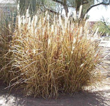 Pennisetum setaceum purple and gardening on pinterest for Fountain grass varieties