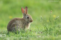 superbnature:  Rabbit by stevemackayphotography http://ift.tt/1Lr99tu