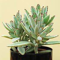 Panda Plant (Kalancho tomentosa): Top 10 Succulent Plants for the Home