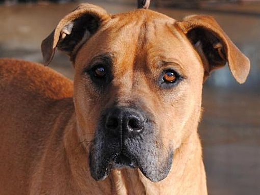 Pictures Of Sadie A Great Dane For Adoption In Anniston Al Who
