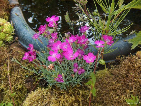 Nelken im Steingarten am Teich