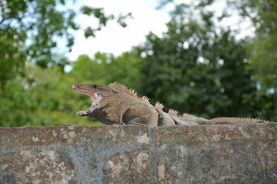 Iguane.  Chichen Itza, Mexique. Du Yucatan au Quintana Roo