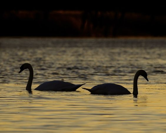 A pair of Mute Swans swim gently around the bay at dusk - Ontario