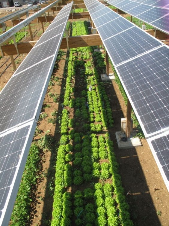 Combining solar photovoltaic-panels and food-crops for optimizing land use: