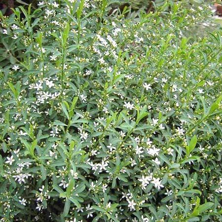 Eriostemon myoporoides compact et ps - Arbuste a petites fleurs blanches ...