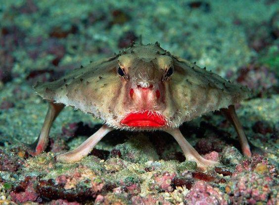 Peixe-morcego de lábios vermelho