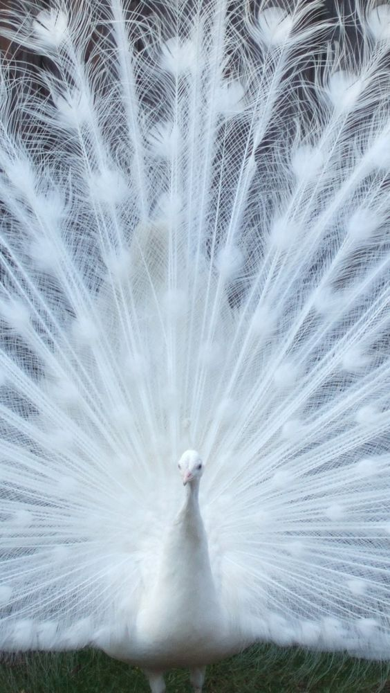 Beautiful White Peacock iPhone 6 wallpaper - Birds iPhone 6 Wallpapers
