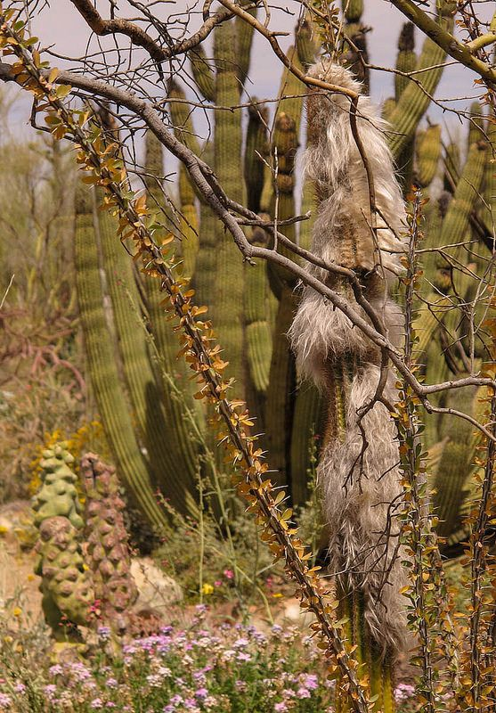 86. Old Man's Bearded Cactus