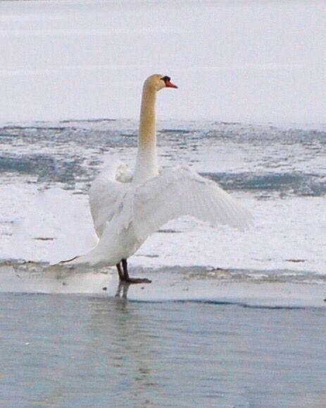 Sea swan