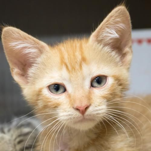 Hi I M Gainer I M A 4 Month Old Neutered Male Red Tabby Domestic Short Hair Cat Adoption Cats And Kittens Feline Leukemia