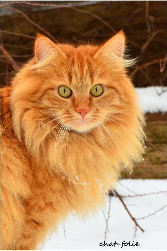 Norwegian Forest Cats May Be More Unique Than You Know Crazycat