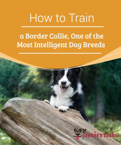 How To Train A Border Collie One Of The Most Intelligent Dog