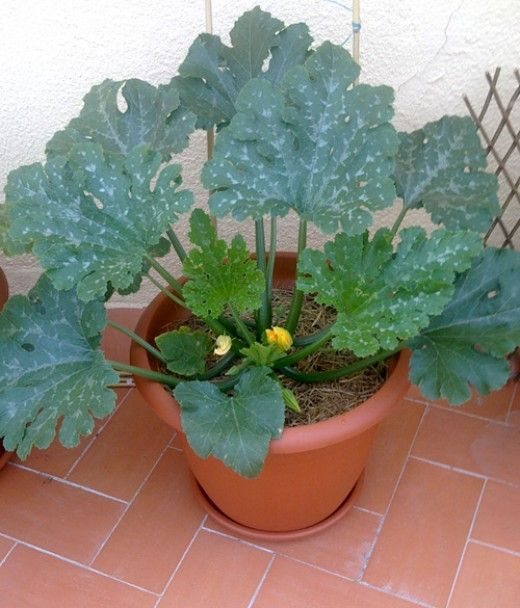 Growing Vegetables In Urban Planters: Organic Container Gardening: Growing Zucchini (Courgettes