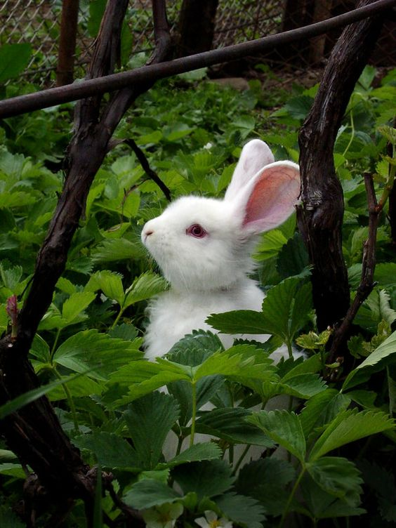 White bunny in a strawberry patch :) The Easter Bunny!