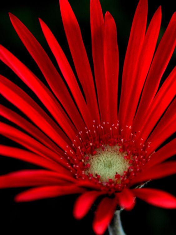 Barberton Daisy (Gerbera jamesonii) - Flores Vermelhas  O principal significado das flores vermelhas é o amor. Essa cor simboliza a paixão, atração, fidelidade e amor. Exemplos: gérberas, tulipas, rosas, crisântemos entre outras.