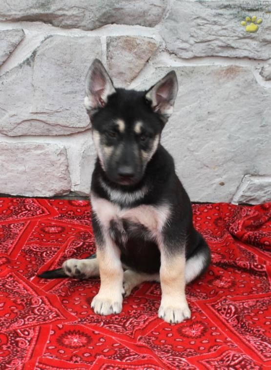 Nellie German Shepherd Husky Puppy For Sale In Narvon Pa Lancaster Puppies Husky Puppies For Sale German Shepherd Husky Puppies Husky Puppy