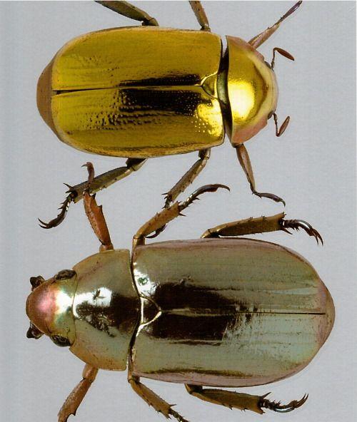 Natural History Museum: Metallic Beetle, Christmas Beetle
