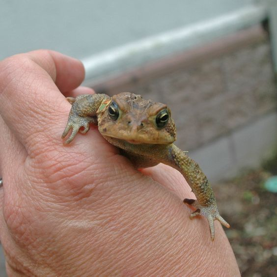 American Toad - Learn more at http://www.nhptv.org/natureworks ...