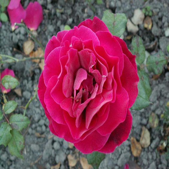 BEAUTIFUL GORGEOUS ROSE