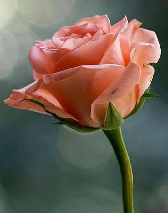 Water on pinterest - Rose cultivars garden ...