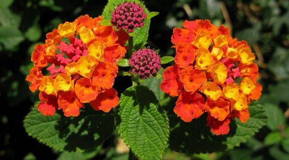 Plantas para zonas soleadas pensamientos